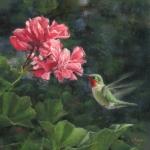 Geranium Café - Broad-tailed Hummingbird
